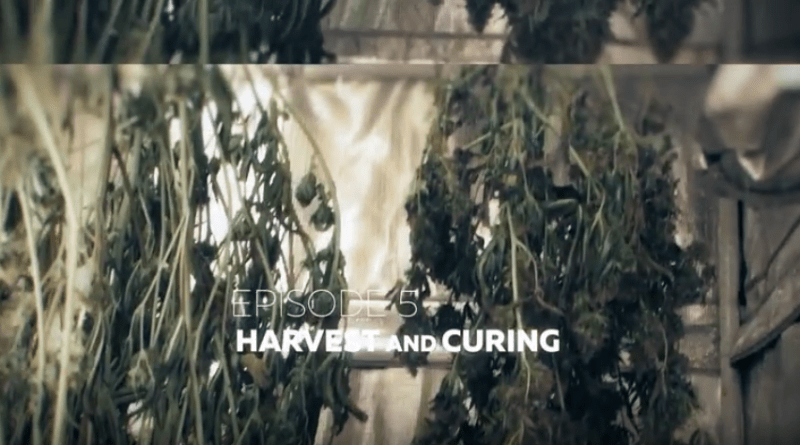 From Clones to Curing A Beginner's Journey in Cultivating Cannabis #5 Harvest and Cure RuffHouse