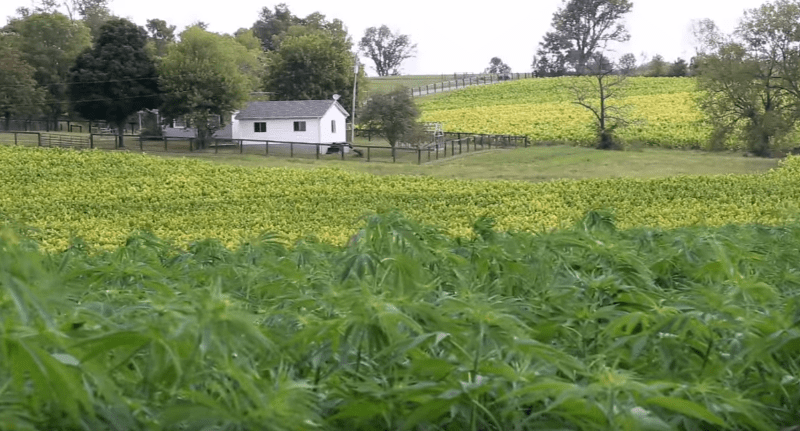Kentucky Farmers Growing Hemp PBS
