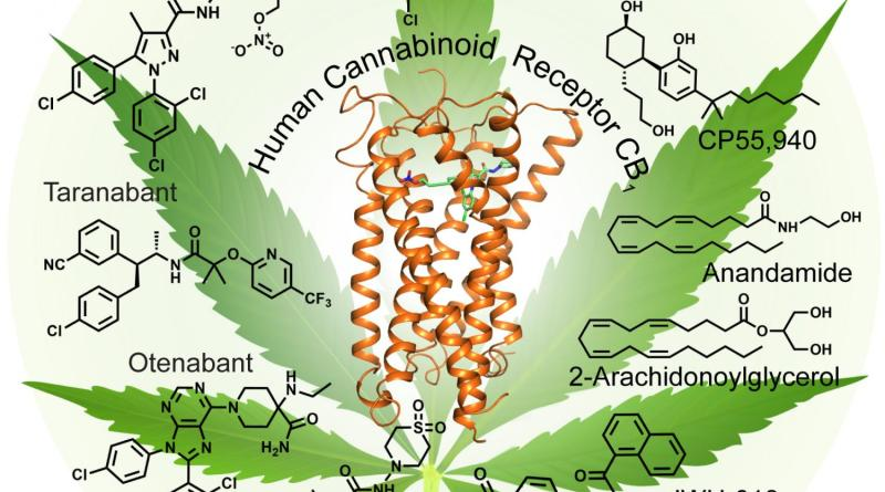 a-look-at-the-marijuana-receptor