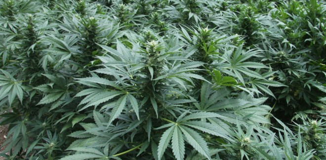CANNABIS CROP DISCOVERY QLD