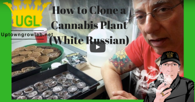 How to Clone Cannabis – White Russian Strain