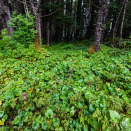 Alaska Rainforest Floor, Glacier Bay National Park, Alaska, USA