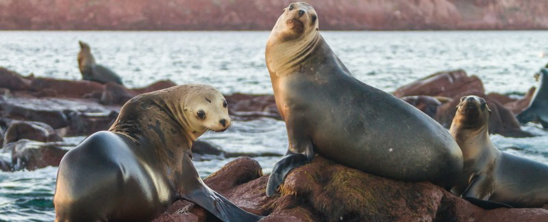 Curious California Sea Lions, Isla Los Islotes, Baja California