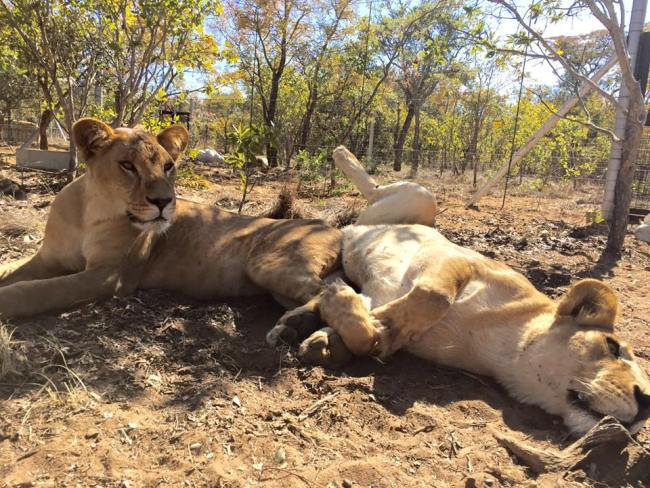 Mahla and Amazonas two of the rescued 33 circus lions