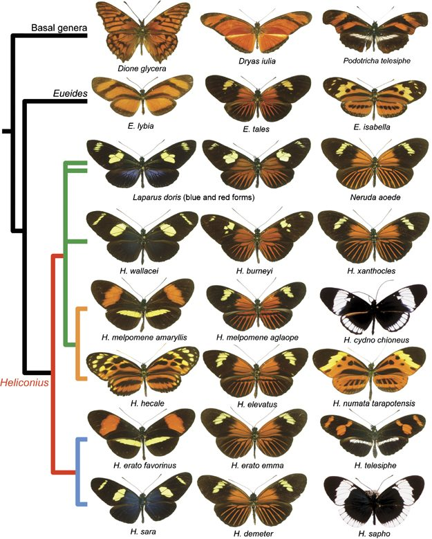 Heliconius Morphology and Taxonomy Pinterest Butterfly - butterfly template