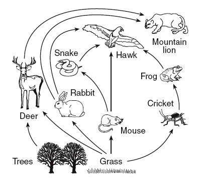apex predator diagram