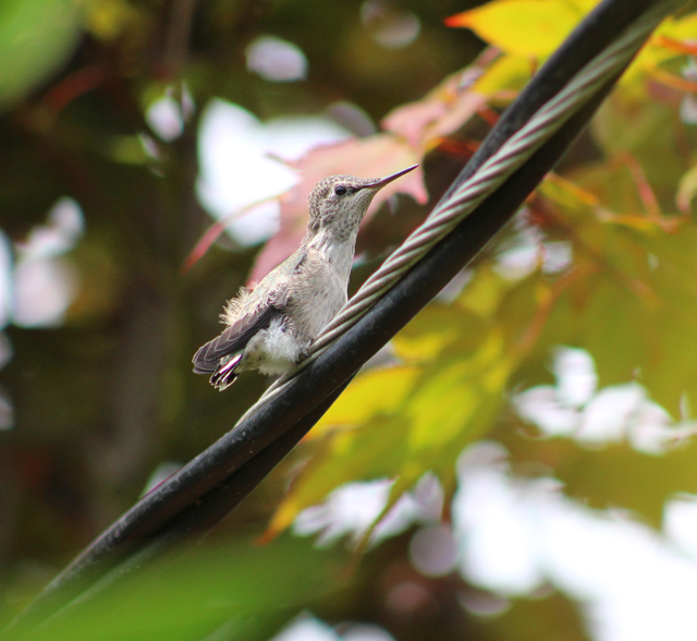 hummer out of nest