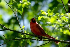 male cardinal in tree