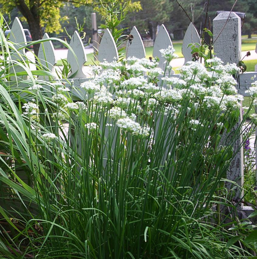 Allium_tuberosum_Garlic_Chive_ATTRIBUTE_Rhonda_Fleming_Hayes