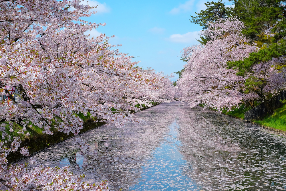 When To See Japan\u0027s Cherry Blossom Trees in Full Bloom - cherry blossom animated
