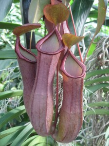 nepenthes_pitcher_plant_the_curious_gardener