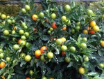 Winter Cherry (Solanum pseudocapsicum) – Great for a cheerful dash of colour all winter!