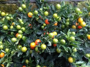 Jerusalem_Christmas_winter_Cherry_care_grow_a-curious-gardener-5