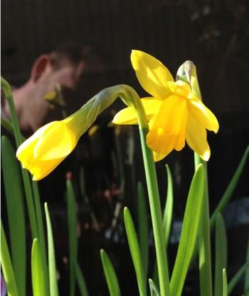 tete-a-tete-daffodil-a-curious-gardener