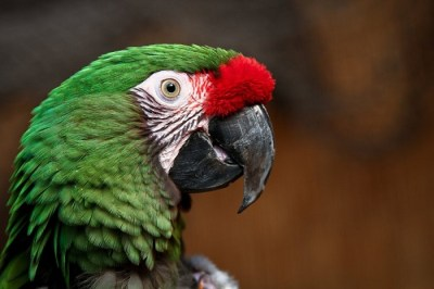 Macaw Headshot Photo Wallpaper - The Customize Windows