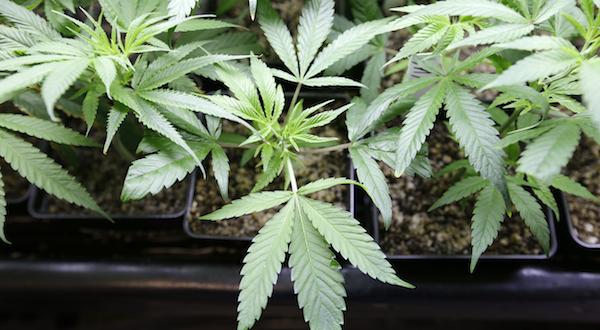 Md. Senate OKs pot decriminalization