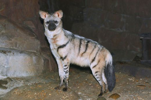 The aardwolf. Photo courtesy of Greg Hume. Source.