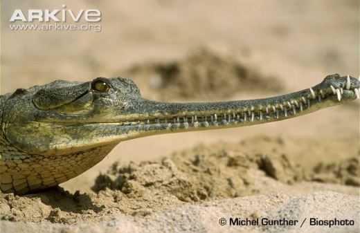 A gharial. Photo courtesy of  Michel Gunther/Biosphoto and ARKive. Source.