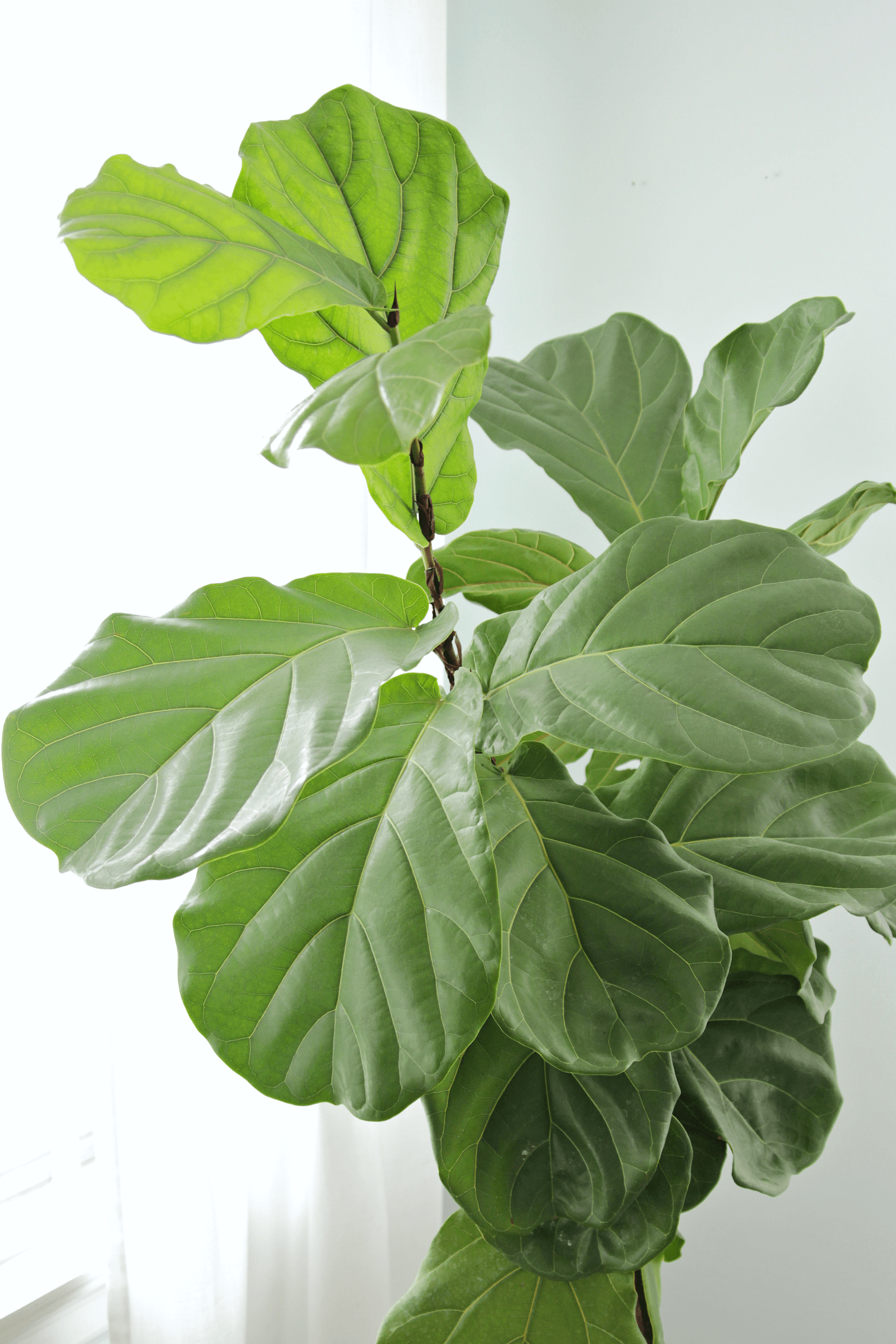 Fiddle Leaf Fig Tree How To Keep A Fiddle Leaf Fig Alive And Happy