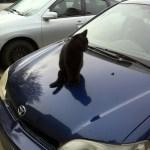 Cat On A Hot Car Hood