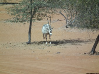 Oryx posing for photos