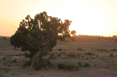 sunset behind a juniper tree