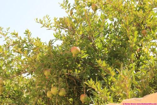 pomegranates at the village/farm walk