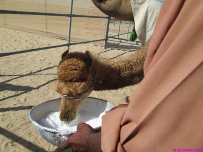 camel festival filomena05