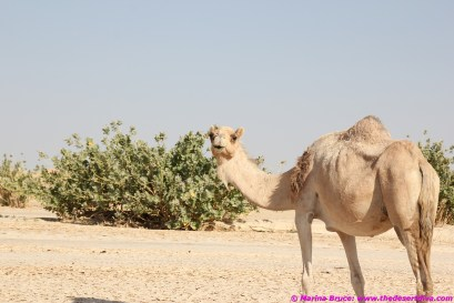 Are all the camels in Wadi Aydam surprised to see us?