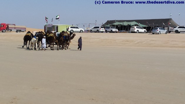 and more camels