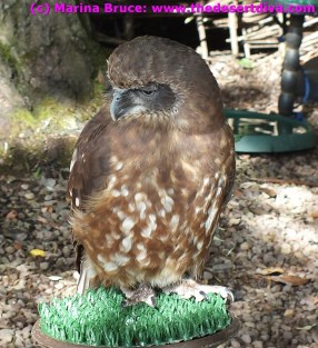 One of the many birds of prey at the falconry centre, Dalhousie