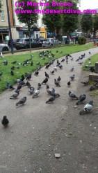Pigeons in Edinburgh City