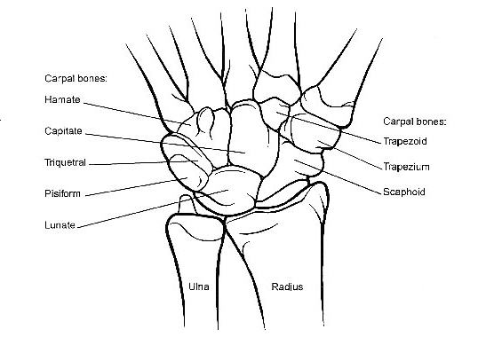 wrist bone diagram