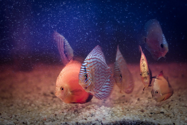 The Discus Aquarium | Your One Stop Discus Care Resource