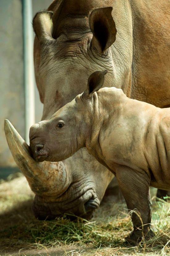New Baby Girl Rhino Born at Disney's Animal Kingdom