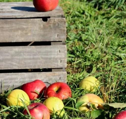 fall apple orchard
