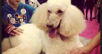 Poodle at Discover Dogs 2014