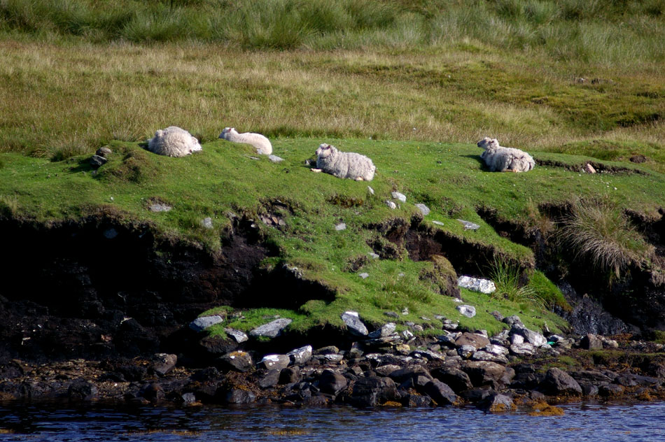 06_Yell_sheep