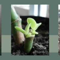 How To Easily Propagate Jade Plants