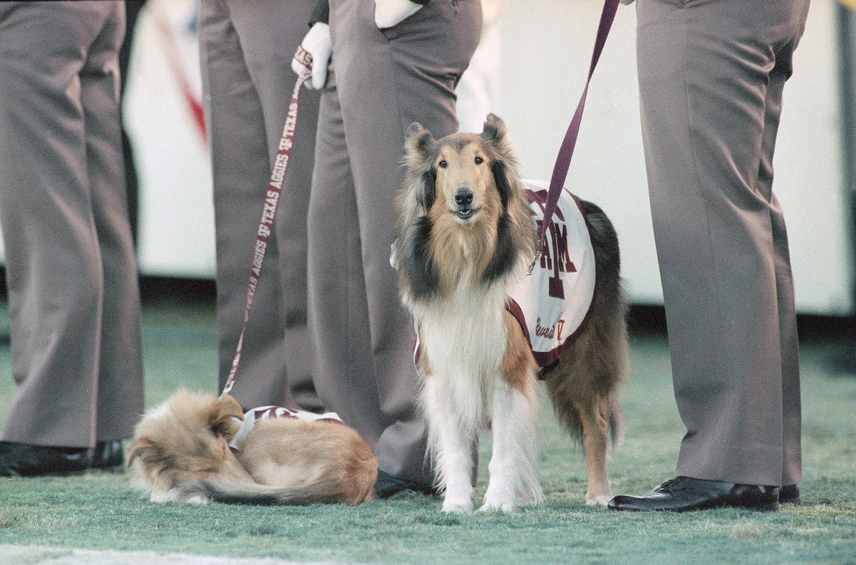 Reveill How A Stray Dog Became Reveille The First Lady Of Aggieland
