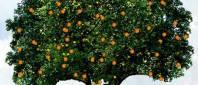 orange_tree