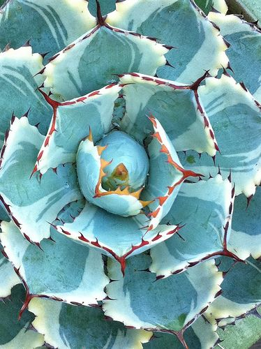 desert diamond agave