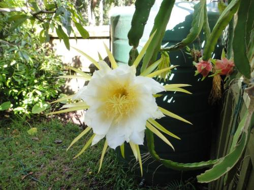 Medium Of Dragon Fruit Flower