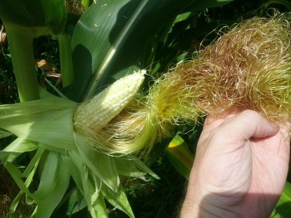 Corn Ear and Silk