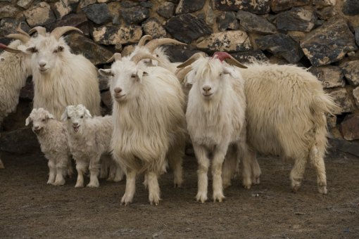 Hyrcus goats, from which Loro Piana's renowned cashmere originates