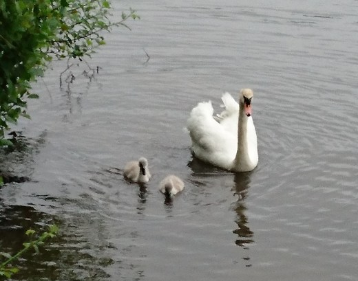 Old and new swans? Come on it's sort of relevant...
