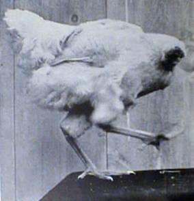headless_chicken