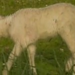 The Lamb with a leg growing on its head
