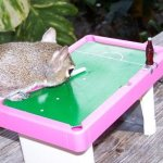 Squirrel plays pool