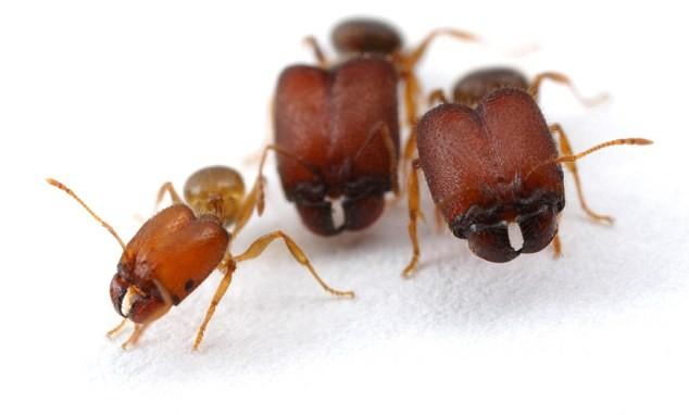 mutant super ants genetic